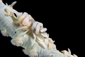 Whip coral partner shrimp by Iyad Suleyman 